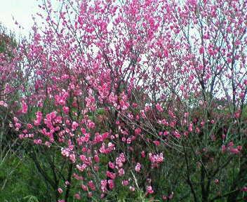 八重桜☆彡