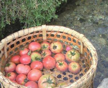 天然冷やしトマト?