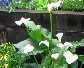 庭先の花・1