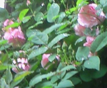 薔薇のアーチ♪♪