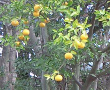 鎌倉の柚子。