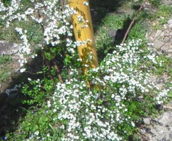 路上の花〜雪柳〜