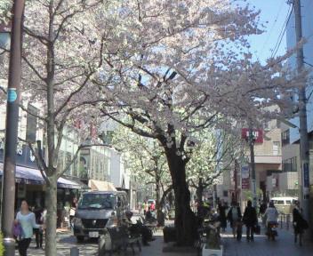 桜咲く自由ヶ丘〜☆