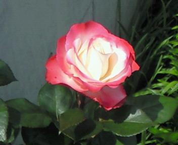 秘めた情熱〜薔薇色の人生